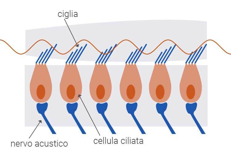 Cellule ciliate